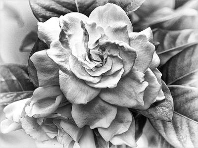 Gardenia Black And White Art Print by Barbara Middleton