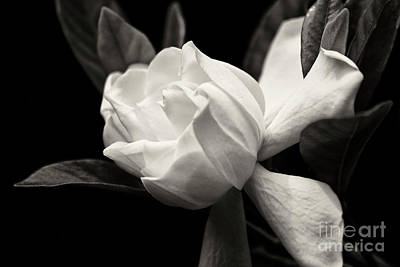 Photograph - Gardenia Bloom In Black And White by Jill Lang