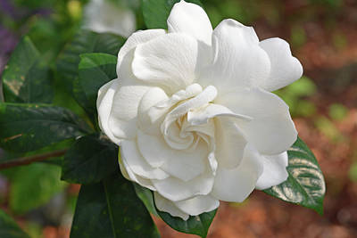 Photograph - Gardenia Blossom by Aimee L Maher Photography and Art Visit ALMGallerydotcom