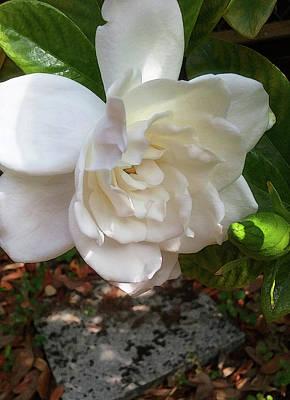 Photograph - Gardenia Blossom by Ginny Schmidt