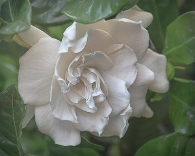 Photograph - Gardenia Blossom by Teresa Wilson