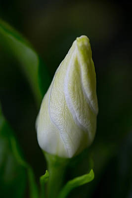 Photograph - Gardenia Bud by Dale Kincaid