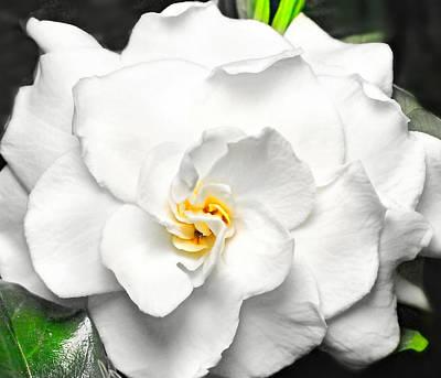 Photograph - Gardenia  by Diana Angstadt
