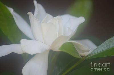 Photograph - Gardenia Divine 2 by Maria Urso