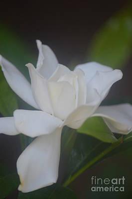 Photograph - Gardenia Divine by Maria Urso