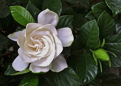 Photograph - Gardenia by Gini Moore
