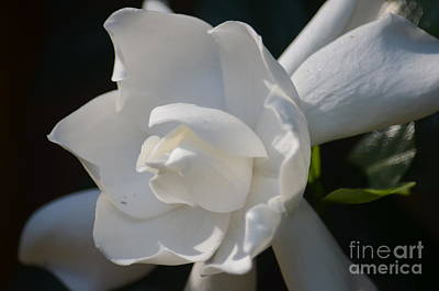 Photograph - Gardenia Grande by Maria Urso