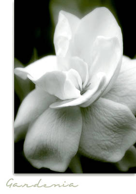 Gardenia Photograph - Gardenia by Holly Kempe