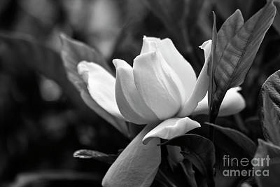 Photograph - Gardenia In Black And White by Jill Lang