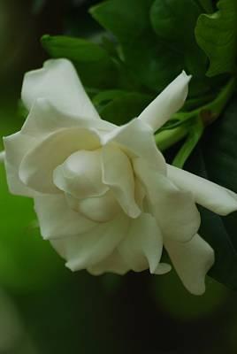 Photograph - Gardenia by Ramona Whiteaker