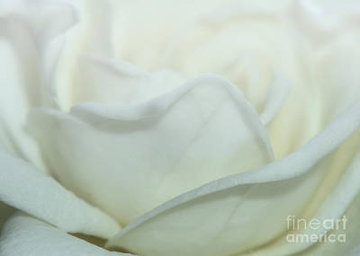 Photograph - Gardenia Undulation by Olga Hamilton