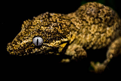Photograph - Gargoyle Gecko by Lisa Brandel