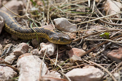 Steven Krull Royalty-Free and Rights-Managed Images - Garter Snake on the Trail in the Pike National Forest of Colorad by Steven Krull
