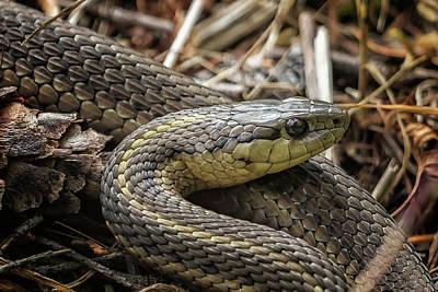 Photograph - Garter Snake Portrait by Belinda Greb