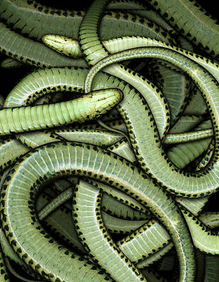 Digital Art - Garter Snakes Pattern by James Larkin