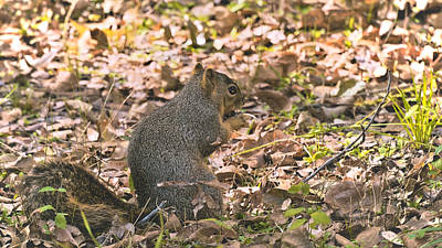Photograph - Gathering Nuts by Philip A Swiderski Jr