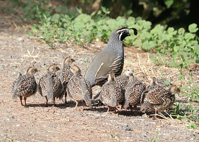 Photograph - Gathering Of Quail Chicks With Dad by Carol Groenen