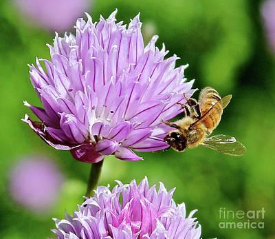 Photograph - Gathering Pollen by Ann E Robson