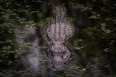 Photograph - Gator Approaching Wide by Framing Places