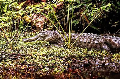 Photograph - Gator Beauty by Sheri McLeroy