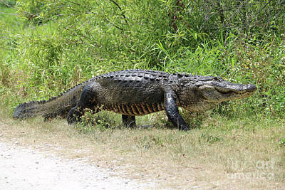 Reptiles Royalty-Free and Rights-Managed Images - Gator Crossing by Carol Groenen