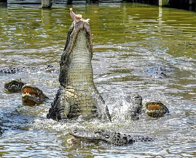 Photograph - Gator Eating  by Joseph Caban