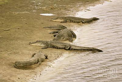 Photograph - Gator Hangout In Sepia by Carol Groenen
