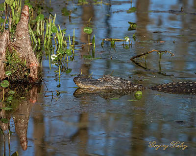 Photograph - Gator In Cypress Lake 3 by Gregory Daley  PPSA