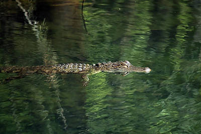 Photograph - Gator In The Spring by Travis Rogers