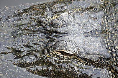 Photograph - Gator by Laurie Perry