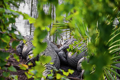 Photograph - Gator Love by Josy Cue