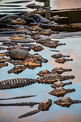 Photograph - Gator Pack by Josy Cue