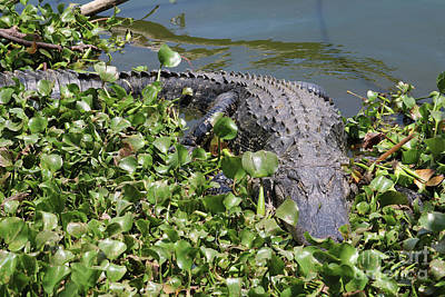 Photograph - Gator Perspective by Carol Groenen