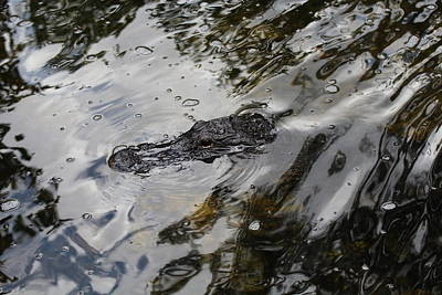 Photograph - Gator Profile by Denise Cicchella