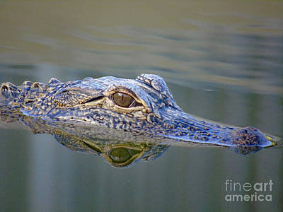 Photograph - Gator by Susan Lafleur