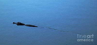 Photograph - Gator Trail by Kathi Shotwell