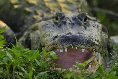 Photograph - Gator With Worn Teeth by Bradford Martin
