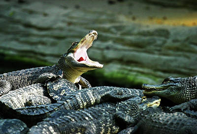 Photograph - Gator Yawn by Anthony Jones