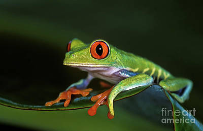 Gaudy Leaf Frog - Costa Rica Art Print by Henk Meijer Photography