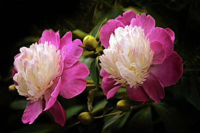 Striking Photograph - Gay Paree Peony by Jessica Jenney