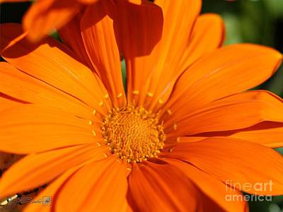 Photograph - Gazania Named New Day Clear Orange by J McCombie