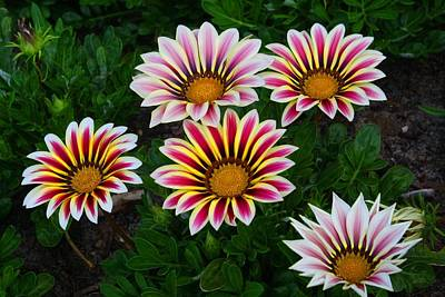 Photograph - Gazanias by Kathryn Meyer