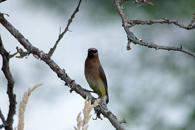 Birds Rights Managed Images - Gaze from a Cedar Wax Wing Royalty-Free Image by Jeff Swan