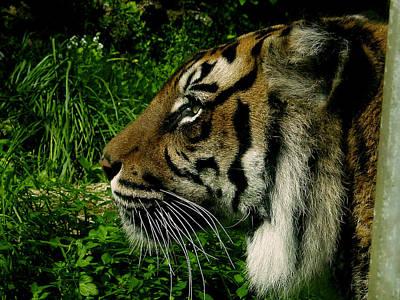 Gaze Of The Tiger Art Print by Edan Chapman