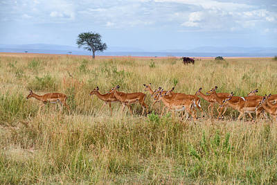 Photograph - Gazelles by Balram Panikkaserry