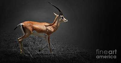 Photograph - Gazelle by Charuhas Images