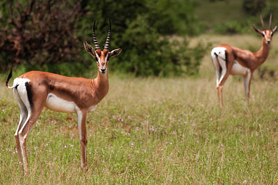 Photograph - Gazelles by Michel Legare