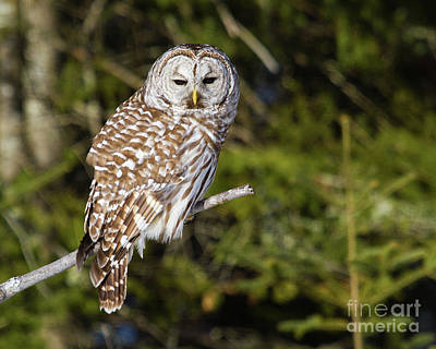 Photograph - Gazing Barred Owl by Lloyd Alexander