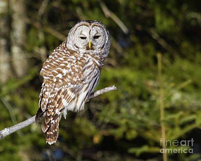 Gazing Barred Owl Art Print by Lloyd Alexander
