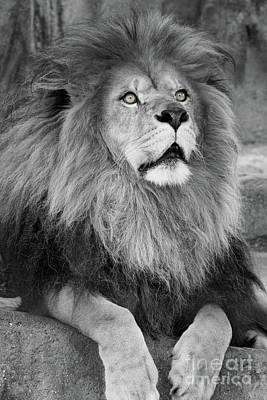 Feline Photograph - Gazing Black And White  T O C by Judy Whitton